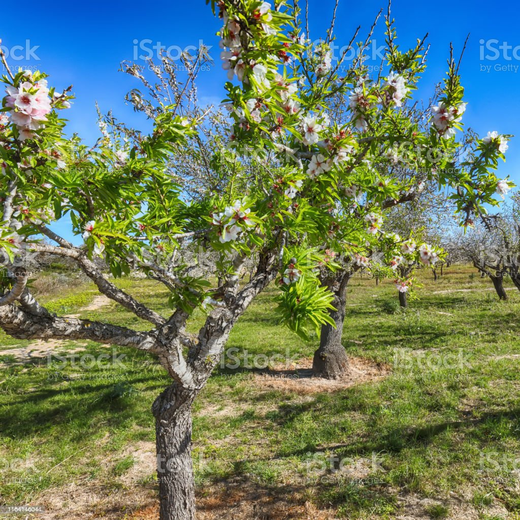 Beautiful white almond flowers on almond tree branch in spring...
