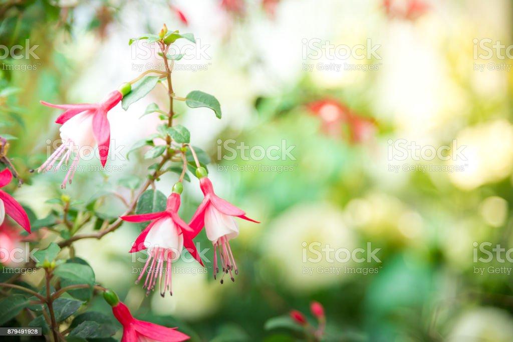 Schöne Weiße Und Rosa Blume Im Garten Kann Für Grußkarten Verwendet ...