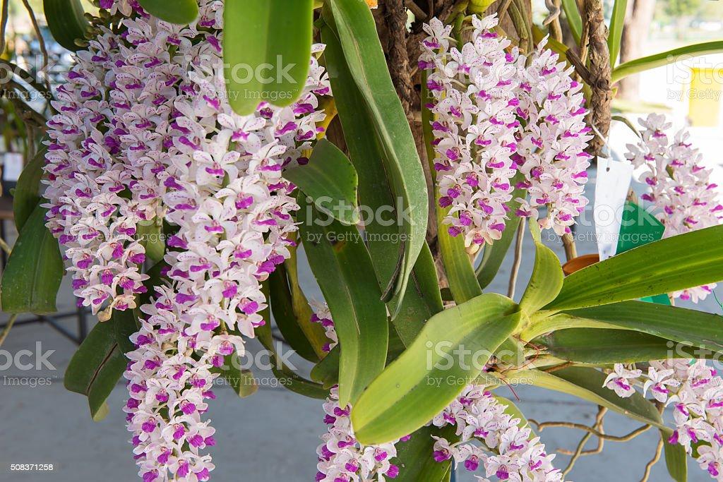 Schöne Weiße Und Rosa Orchideen Blumen Baum Stock-Fotografie und ...