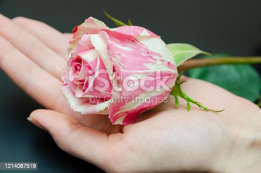 Beautiful white and pink rose in women's hands close-up on a black background