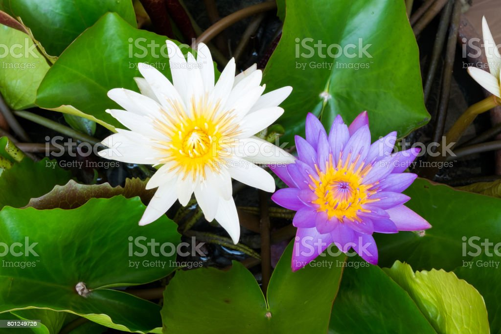Beautiful White And Purple Lotus Flower In Pot Stock Photo More