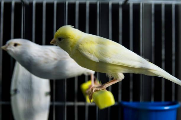 beau blanc et jaune canari dans une cage - canari photos et images de collection