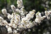 Beautiful white apple blossom