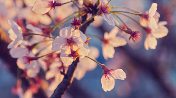 Beautiful white apple tree flowers in delicate warm sunlight stock photo