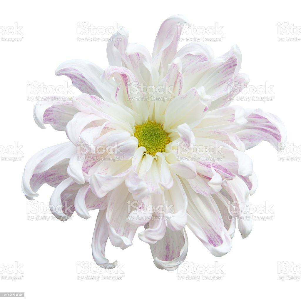 Beautiful white autumn irregular incurve chrysanthemum stock photo