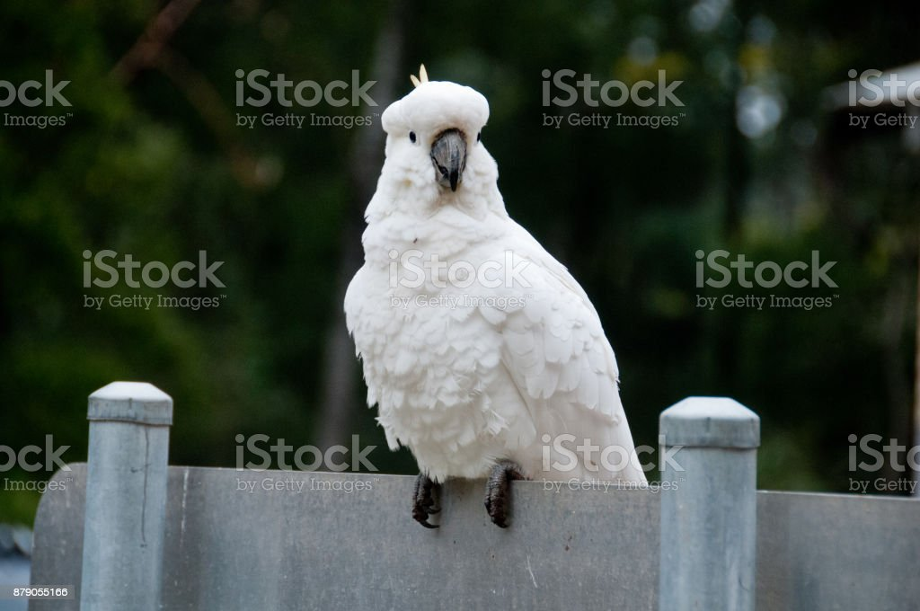 Beautiful white big cockatoo bird standing smiling stock photo