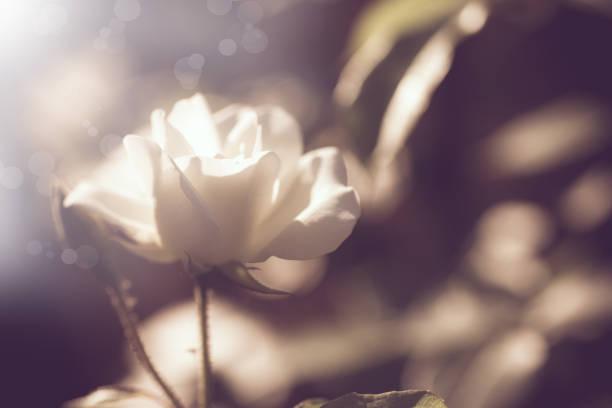Beautiful white blooming roses on a dark picture id1030986000?b=1&k=6&m=1030986000&s=612x612&w=0&h=fxxiejnih7bz5jymyop58hogn mgjybr6rtt4fqfka8=