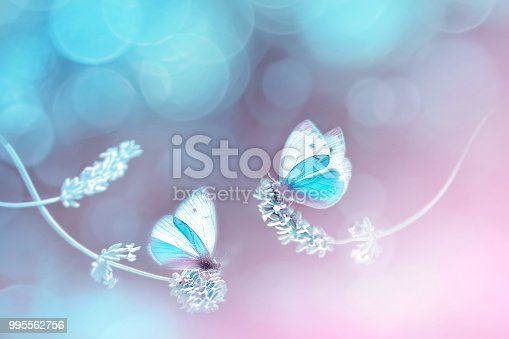 Beautiful white blue butterflies on the flowers of lavender. Summer spring natural image in blue and pink tones. Free space for text. Fantastic summer natural concept.