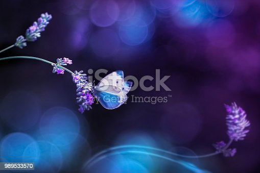 Beautiful white blue butterfly on the flowers of lavender. Summer spring natural image in blue and purple tones. Free space for text. Fantastic summer natural concept.