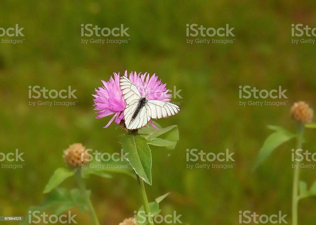 Beautiful white butterfly on a flower  [Aporia crataegi] royalty-free stock photo