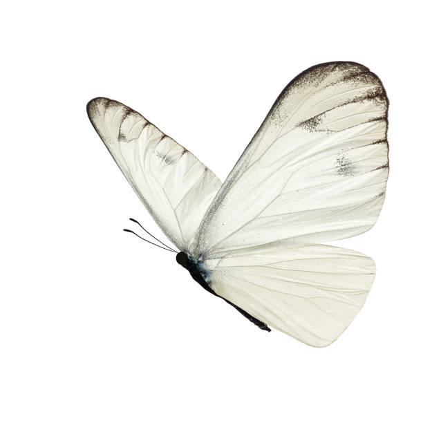 Beautiful white butterfly picture id1138125930?b=1&k=6&m=1138125930&s=612x612&w=0&h=c2aavlyrelh owawqdlx2afq8gvzofbvw5cc16rtgeq=