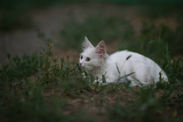 Beautiful white cat in nature in the green grass stock photo