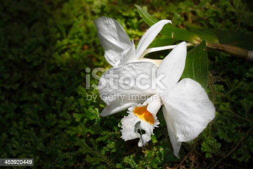 Beautiful white Cattleya orchid on green