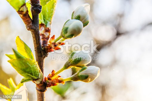 istock Beautiful white cherry blossom sakura bud flowers in spring time. Nature background with flowering cherry tree. Inspirational natural floral blooming garden or park. Pastel flower vintage art design 1204299611