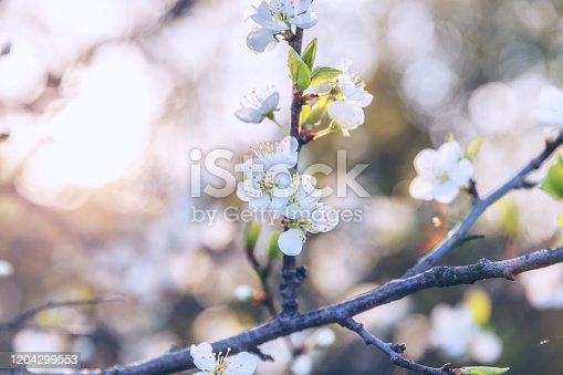 istock Beautiful white cherry blossom sakura flowers in spring time. Nature background with flowering cherry tree. Inspirational natural floral blooming garden or park. Pastel flower vintage art design 1204299553