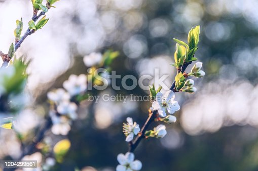 istock Beautiful white cherry blossom sakura flowers in spring time. Nature background with flowering cherry tree. Inspirational natural floral blooming garden or park. Pastel flower vintage art design 1204299561