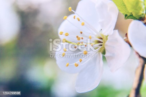 istock Beautiful white cherry blossom sakura flowers macro close up in spring time. Nature background with flowering cherry tree. Inspirational floral blooming garden or park. Pastel flower art design 1204299598