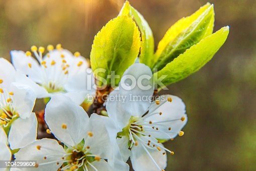 istock Beautiful white cherry blossom sakura flowers macro close up in spring time. Nature background with flowering cherry tree. Inspirational floral blooming garden or park. Pastel flower art design 1204299606