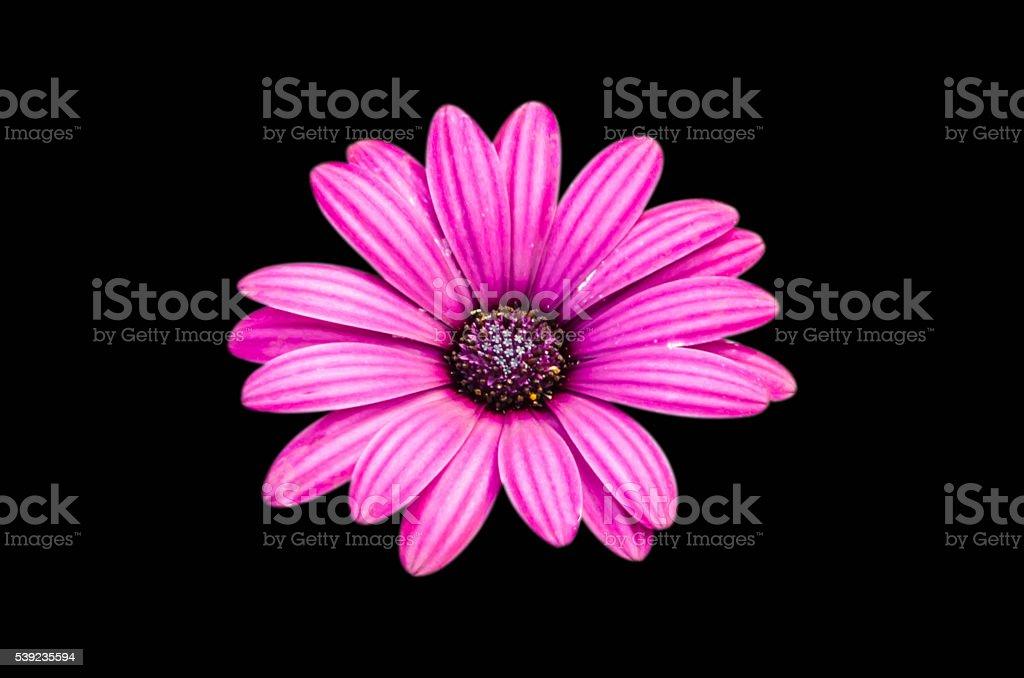 Crisantemo de flores blancas aisladas sobre un fondo negro. foto de stock libre de derechos