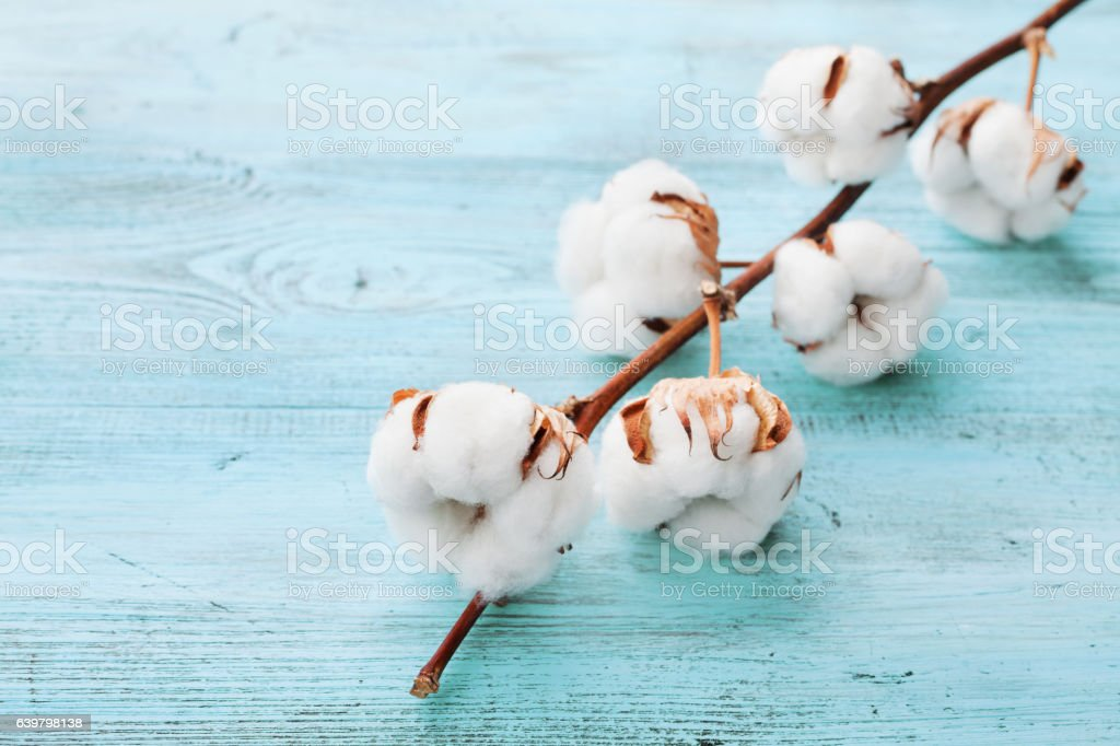 Beautiful white cotton flowers on turquoise wooden background. stock photo