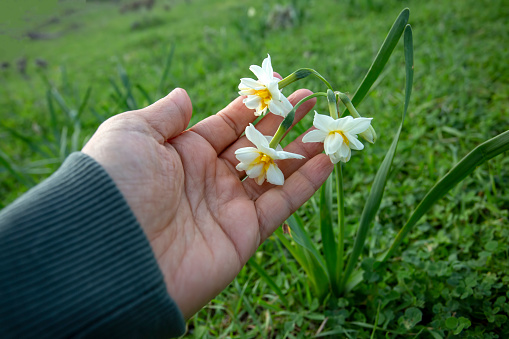 Beautiful white daffodils in a field. Karaburun,Izmir/Turkey. (Narcissus)