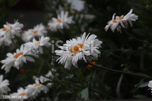 Beautiful white daisies in the garden. Shasta daisy (Leucanthemum superbum), English daisy (Bellis perennis) or ox-eye daisy (Leucanthemum vulgare)