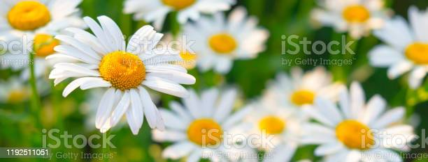 Beautiful white daisy flowers in sunny day picture id1192511051?b=1&k=6&m=1192511051&s=612x612&h=mma o9k8pgrvrdf gjhbbztduofcg482yugmzeq1c3i=