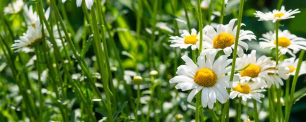 Beautiful white daisy flowers in sunny day picture id1257387024?b=1&k=6&m=1257387024&s=612x612&w=0&h=zbht8qi6etlxknetnjqocwfagslgz 2wpov xg d7mi=