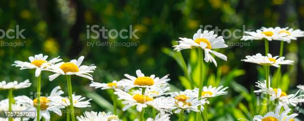 Beautiful white daisy flowers in sunny day picture id1257387028?b=1&k=6&m=1257387028&s=612x612&h=2g4sbkzckpgyo46inuz0kfexxsfxwxav80 mndefaqe=