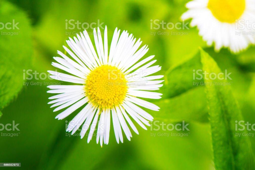 Beautiful White Daisy foto de stock libre de derechos