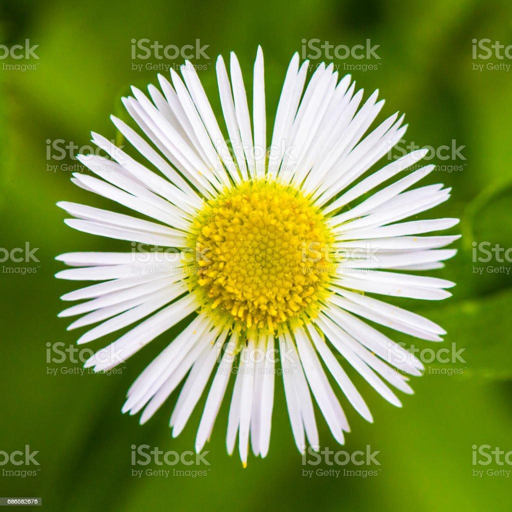 Beautiful White Daisy foto stock royalty-free