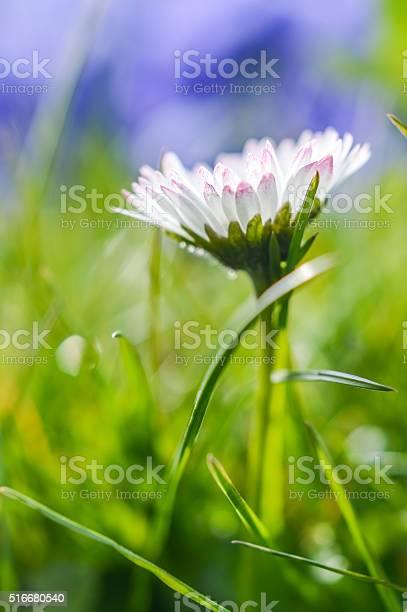 Photo of beautiful white daisy profile