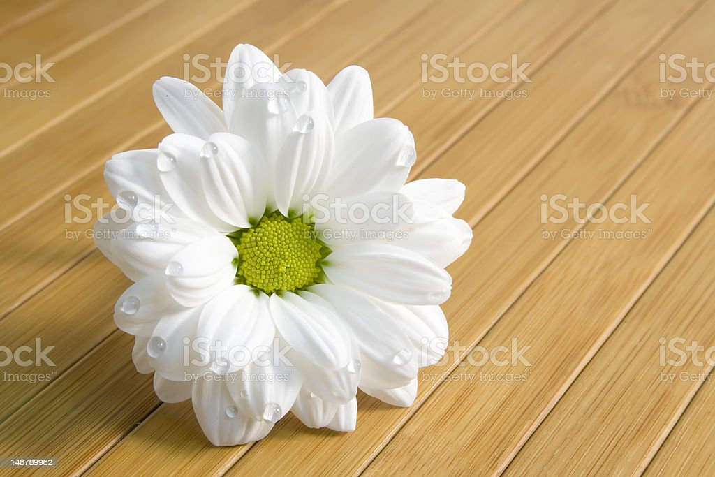 beautiful white daisy with water drops royalty-free stock photo