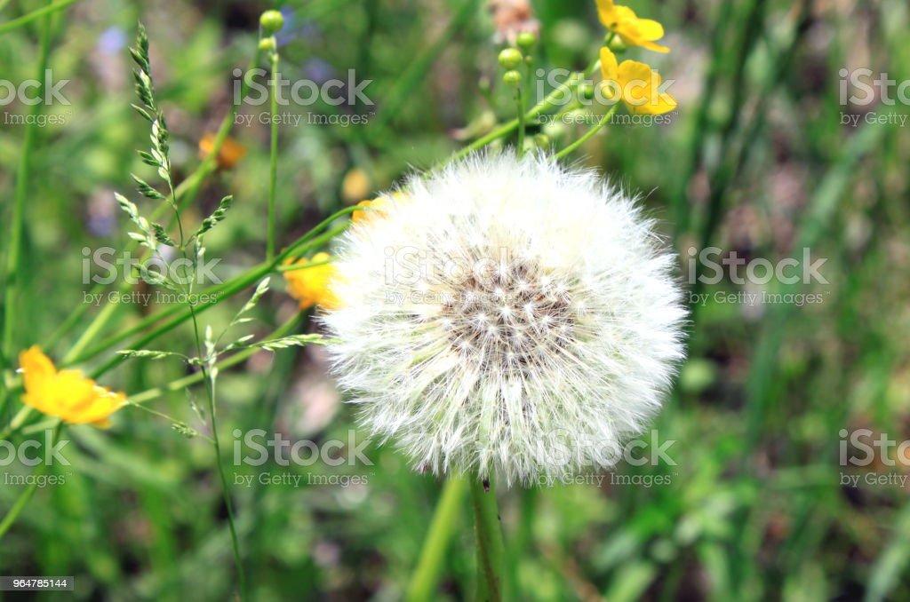 Beautiful white dandelion in green grass royalty-free stock photo