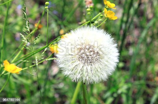 Beautiful White Dandelion In Green Grass Stock Photo & More Pictures of Agricultural Field