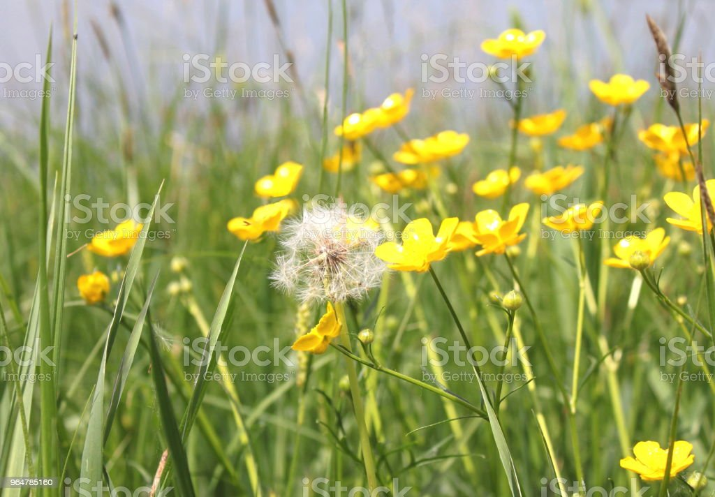 Beautiful white dandelion in green grass royalty-free stock photo