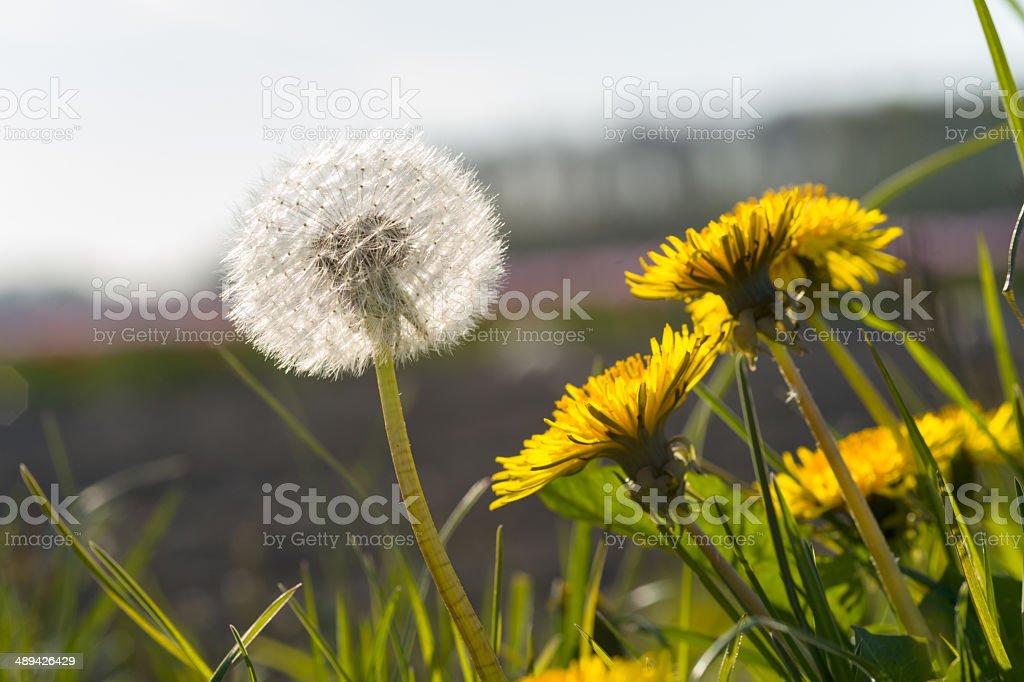Magnifique avec des graines de pissenlit blanc sur prairie - Photo