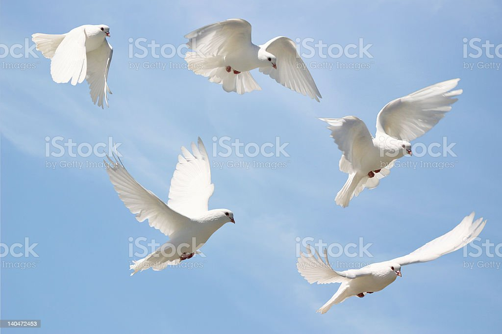 Beautiful white dove in flight. stock photo