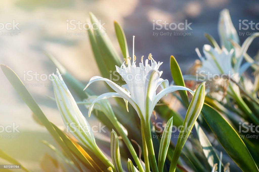 Beautiful white dune flowers/Spider Lily and a beam of light stock photo