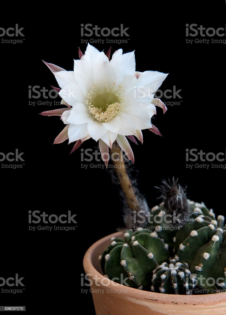Beautiful white Echinopsis subdenudata flower royalty-free stock photo