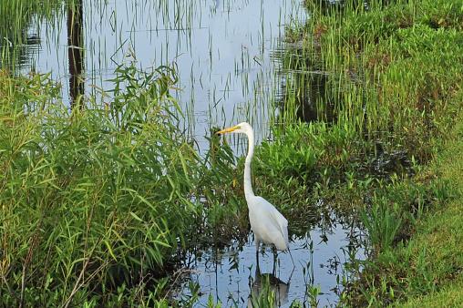 Beautiful White Egret-Hilton Head, SC