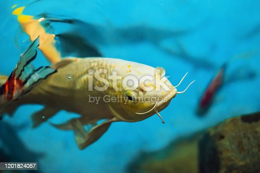 Beautiful white fish on a blue background.