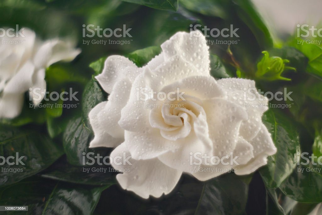 beautiful white flower gardenia on a green background