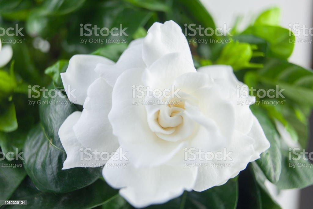 beautiful white flower gardenia on a green background