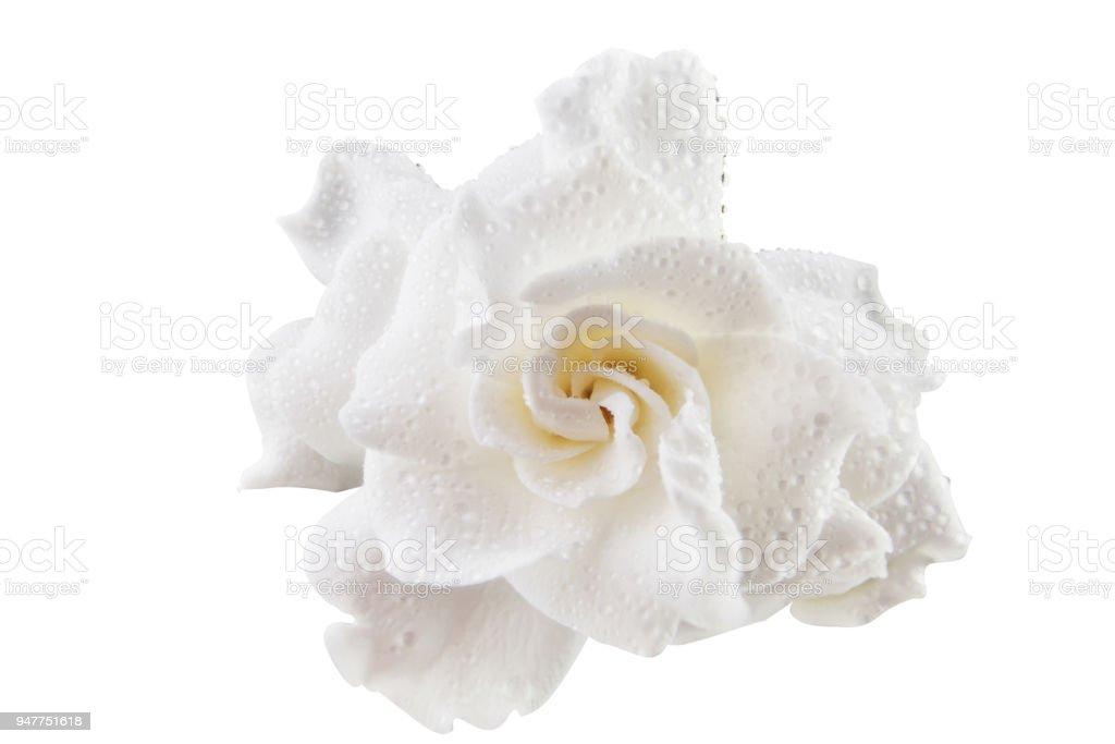 Beautiful white flower gardenia on white background stock photo beautiful white flower gardenia on white background royalty free stock photo mightylinksfo