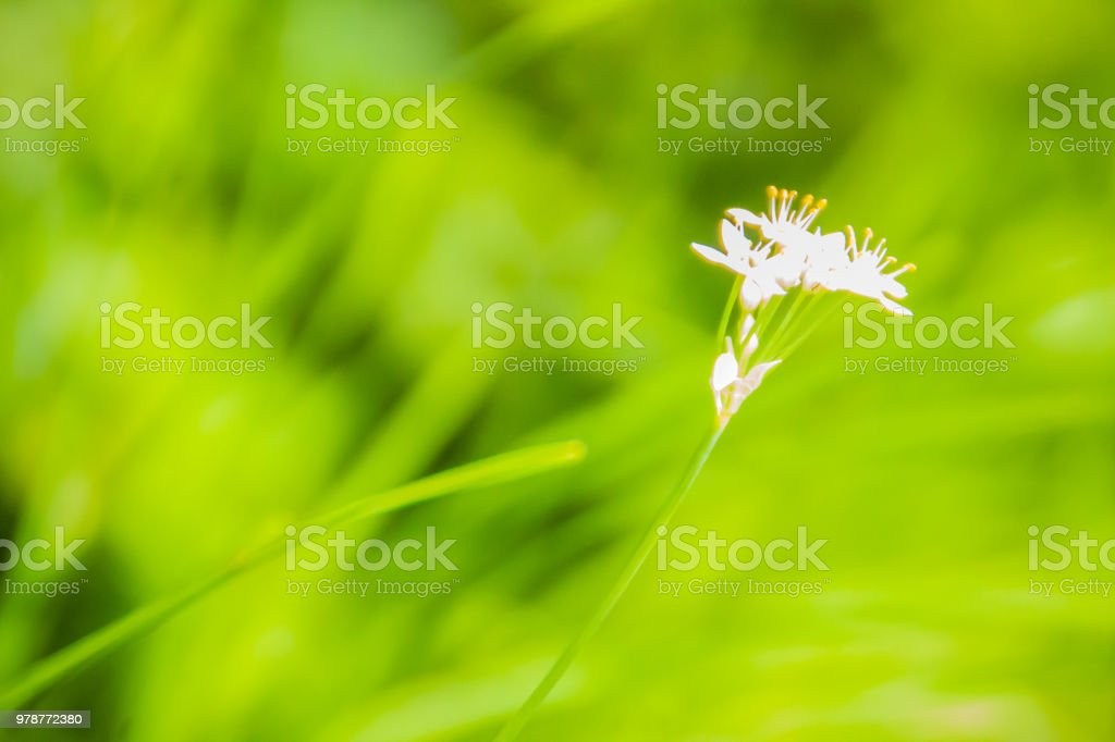 Beautiful white flower of Allium tuberosum (garlic chives, Oriental garlic, Asian chives, Chinese chives, Chinese leek) with green leaves background. stock photo