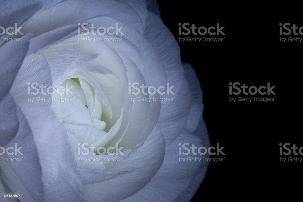 Bellissimi fiori bianchi su sfondo nero foto stock royalty-free