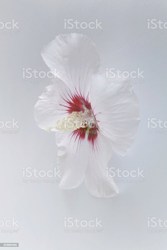 Beautiful white flower royalty-free stock photo