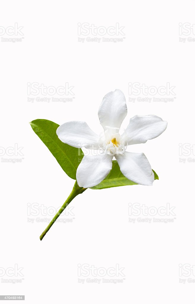 Beautiful white flower with leaf stock photo