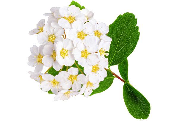 Beautiful white flowering shrub Spirea aguta (Brides wreath). stok fotoğrafı